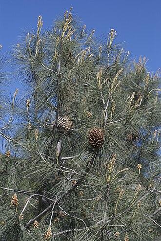 Pinus sabiniana - Image: Pinus sabiniana