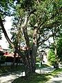 Pinus silvestris Rabka.jpg