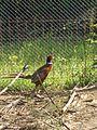 Piršenbreg Pheasant 03.jpg