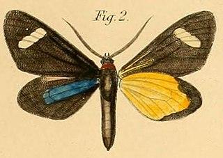 <i>Pitthea perspicua</i> Species of moth