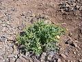 Plant found near Tecolote.JPG