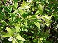 Plante inconnue fleurs blanches (10).JPG