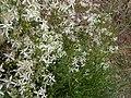 Plante rampante fleur blanches.JPG