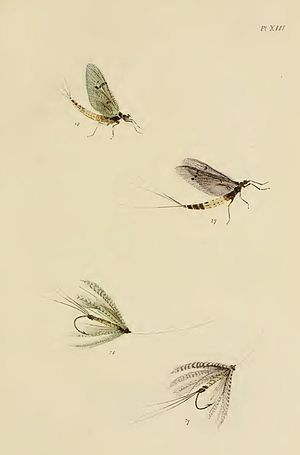 The Fly-fisher's Entomology - Plate XIII-Green Drake and Grey Drake