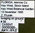 Platythyrea punctata casent0006088 label 1.jpg