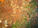 Plectaster decanus Mosaic seastar PC259863.JPG