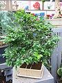 Plinia cauliflora bonsai.jpg