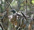 Plumbeous Vireo on nest. Vireo plumbeus - Flickr - gailhampshire.jpg