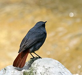 Plumbeous Water Redstart (Male) I IMG 6457.jpg