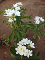 Plumeria rubra Frangipani.jpg