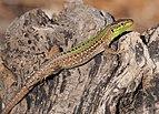 Podarcis sicula taking morning sunbath (Italian wall lizard).jpg