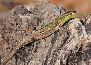 Italian wall lizard - Podarcis sicula taking morning sunbath