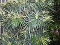 Podocarpus elatus 2.JPG