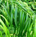 Podocarpus matudae reichii 2.jpg
