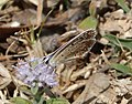 Polyommatus - Flickr - gailhampshire (2).jpg