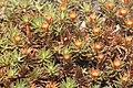 Polytrichum piliferum (a, 145713-482731) 7088.jpg