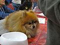 Pomeranian (8109922122).jpg