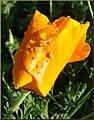 Poppies, ESRI 3-24-13d (8595963792).jpg