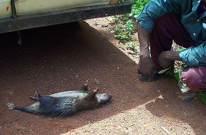 Fitxer:Porcupine bushmeat in Cameroon.jpg