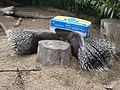 Porcupines at the Isle of Wight Zoo.jpg