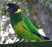 A green parrot with blue-tipped wings, a dark-green throat, a black head, a red forehead, a dark-violet chin, and a green-yellow underside