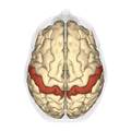 Postcentral gyrus - superior view.png