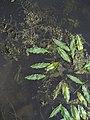 Potamogeton natans Potamogeton crispatus IMG 5258.jpg