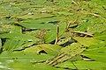 Potamogeton nodosus kz13.jpg