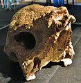 Prenocephale prenes skull 32.JPG