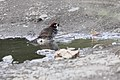 Prevosts Ground-Sparrow (Melozone biarcuatum) (5771871547).jpg