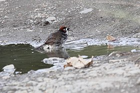 Prevosts Ground-Sparrow (Melozone biarcuatum) (5771871547).jpg