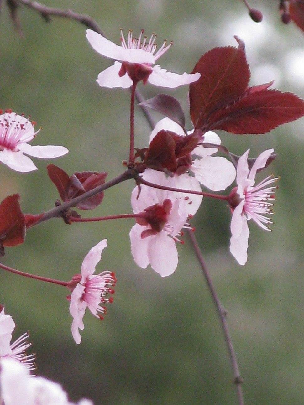 Prunus cerasifera-Jerusalem