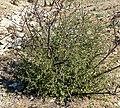 Prunus fasciculata 5.jpg