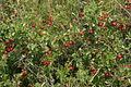 Prunus fruticosa (Zwerg-Weichsel) IMG 2184.JPG