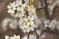 Prunus karlstejn.jpg