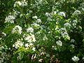 Prunus mahaleb 2c.JPG