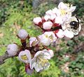 Prunus mandshurica with bee 1crop.jpg