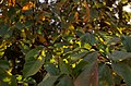 Prunus salicina leaf (01).jpg
