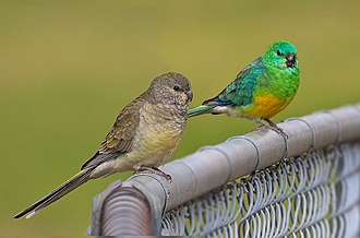 Red-rumped parrot - Female (left) and male (right) at Eastern Creek, New South Wales, Australia