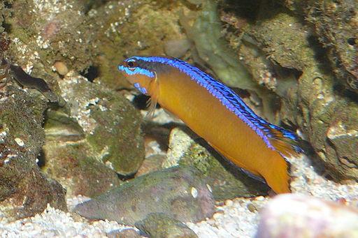 Pseudochromis aldabraensis - Aldabra Zwergbarsch