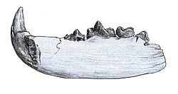Pseudocyon sansaniensis.jpeg