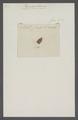 Pseudophana - Print - Iconographia Zoologica - Special Collections University of Amsterdam - UBAINV0274 042 02 0037.tif