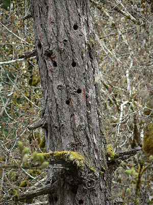 Snag (ecology) - A coast Douglas-fir snag provides nest cavities for birds