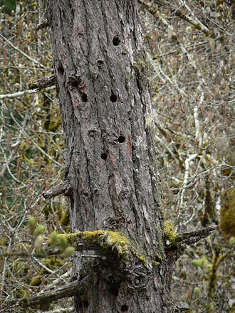Douglas fir - A snag provides nest cavities for birds