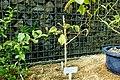 Psidium guajava - Shinjuku Gyo-en Greenhouse - Tokyo, Japan - DSC05752.jpg