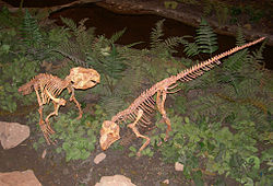 Psittacosaurus skelett på North American Museum of Ancient Life.