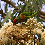 A green parrot with yellow spots on the body excluding the wings, and a red forehead