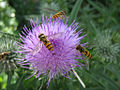 Ptc24 - Hoverfly on Thistle (by).jpg