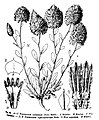 Ptilotus exaltatus as Trichinium exaltatum, Trichinium siphonandrum.jpg