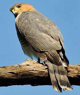 Puerto Rican Sharp-shinned hawk sitting on tree branch